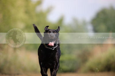black labrador mixed breed dog running with minimal background