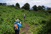 Rwanda, Parc National des Volcans, Volcanos National Park, tourists hiking