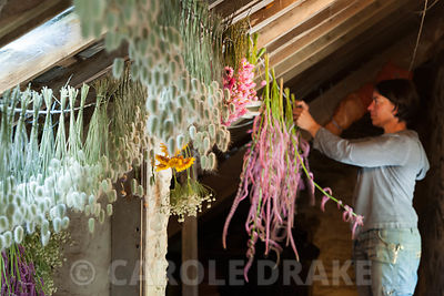 Aimee Kingdom hangs bunches of freshly cut Acroclinium roseum Giant Double Mixed in the roof of the bothy to dry. Cotehele, St Dominick, nr Saltash, Cornwall, UK