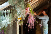 Aimee Kingdom hangs bunches of freshly cut Acroclinium roseum Giant Double Mixed in the roof of the bothy to dry. Cotehele, S...