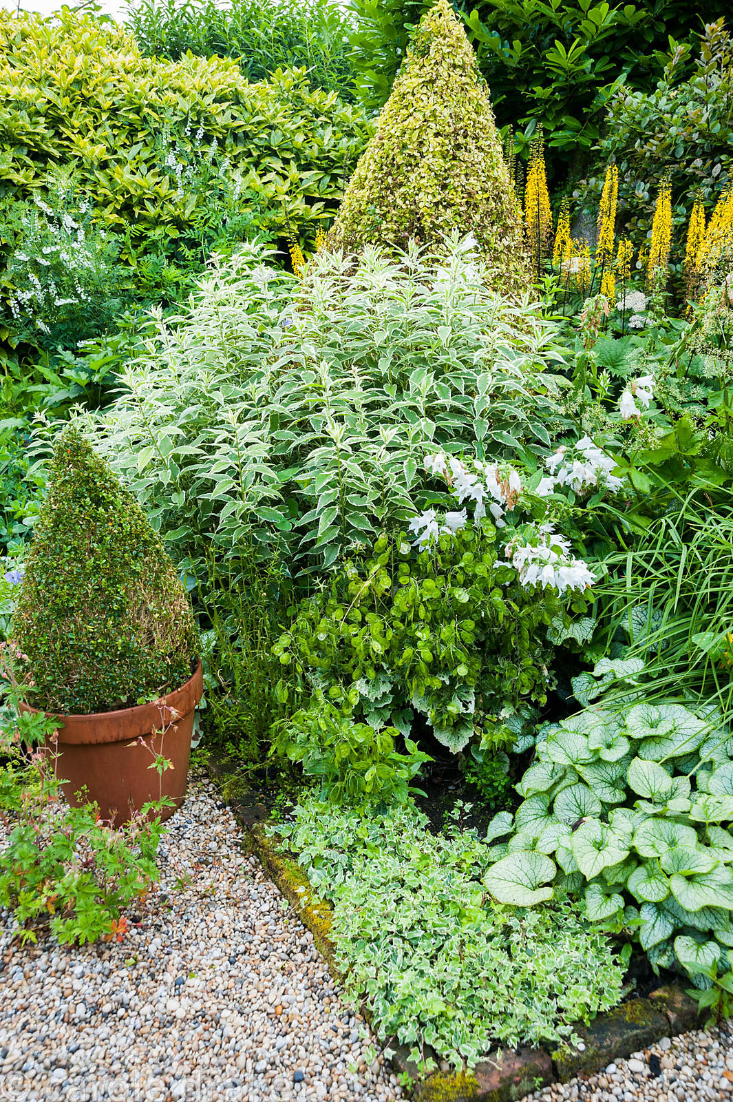 The Vean Garden is predominantly white, blue and gold with lots of strong foliage plants including clipped box and golden pri...