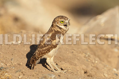 burrowing_owl_squawk_1