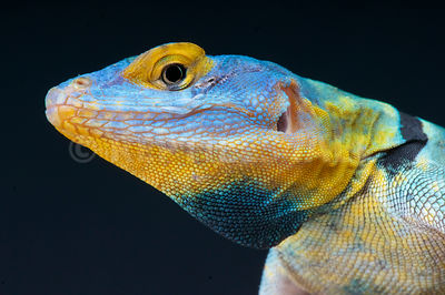 Baja blue rock lizard (Petrosaurus thalassinus)