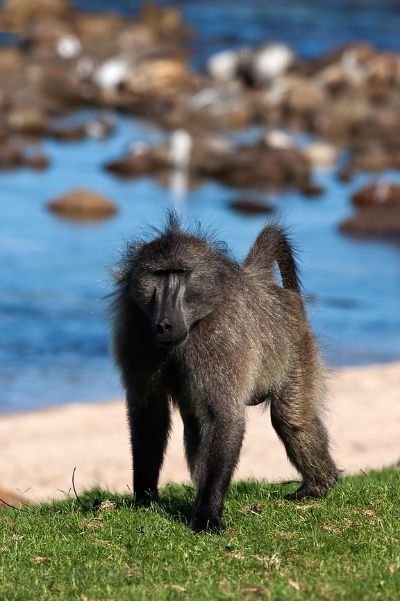 The alpha male chacma baboon from the Buffels Bay troop (named Elvis) walks on the beach at Buffels Bay, Cape Peninsula, Sout...