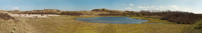 Wild horses in the dunes panorama