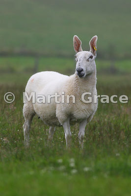 Scottish Half-Bred sheep, West Mainland, Orkney, United Kingdom