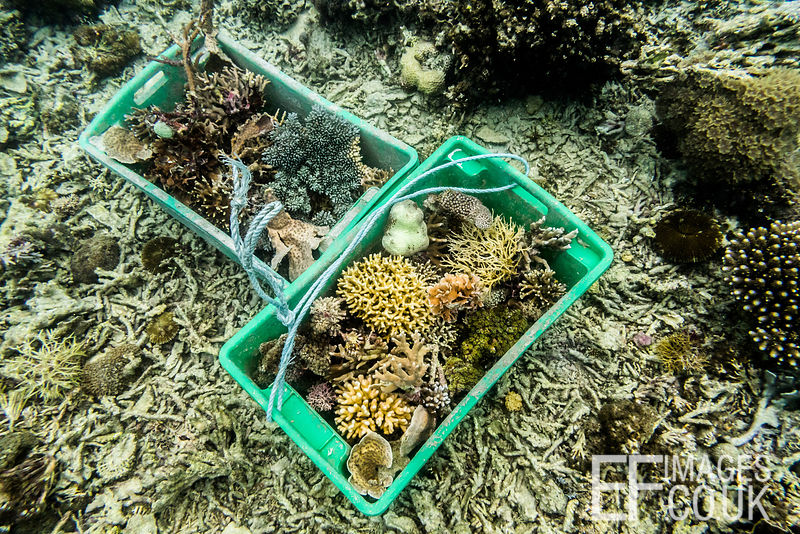 Crates of coral fragments shattered by fish bombs waiting on the sea floor to be transported to TRACC's artificial reef, wher...