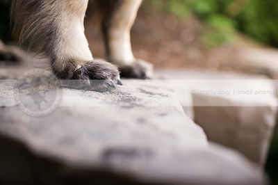 closeup of dog paws nails standing on boulder