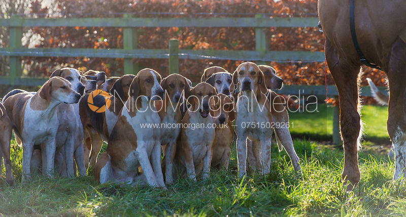 Belvoir Hunt Old English Hounds at the meet - The Belvoir Hunt at Long Clawson, 15/12/12