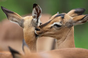 Impala grooming (Aepyceros melampus), Kruger National Park, South Africa