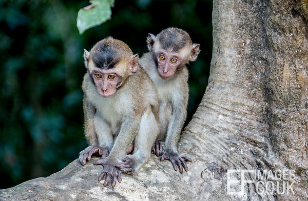 Juvenile Macaque Monkies In The Kinabatangan Rain Forest
