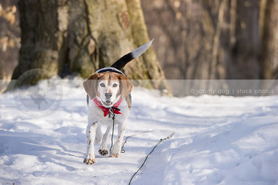 senior beagle walking on forest snowy trail
