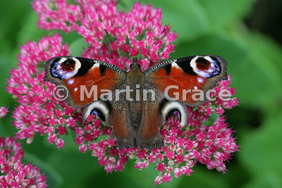 A Peacock butterfly (Inachis io) with symmetrical damage to both hind wings, probably as the result of a bird attack, resting...