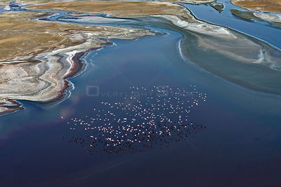 Aerial view of Lesser Flamingo (Phoenicopterus / Phoeniconaias minor) flock in flight over lake water. Lake Natron, Tanzania,...
