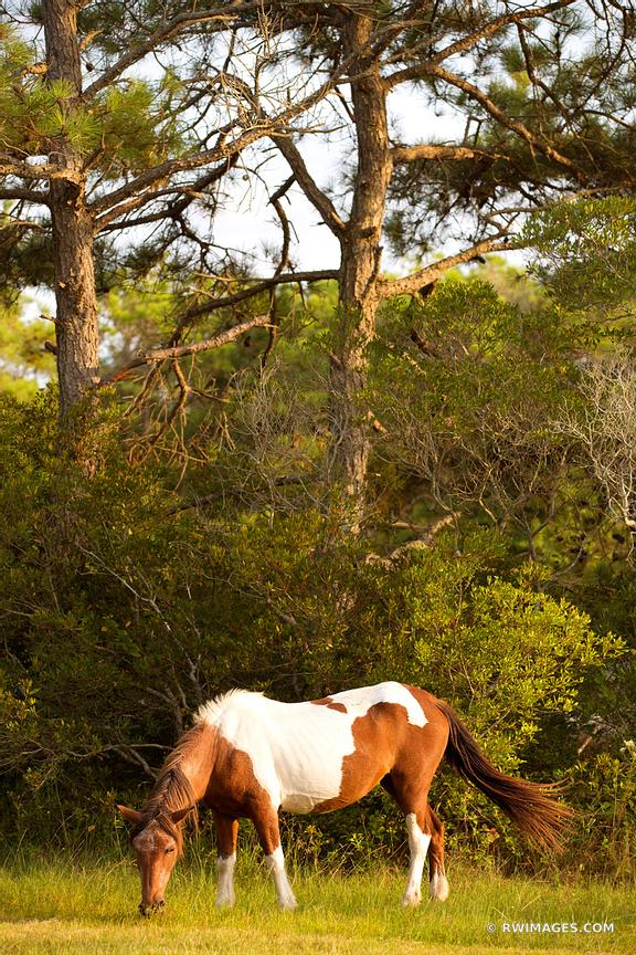 WILD HORSE PONY ASSATEAGUE ISLAND NATIONAL SEASHORE MARYLAND COLOR VERTICAL