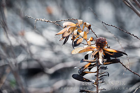 Burned leucadendron protea bushes after a fire create beautiful forms