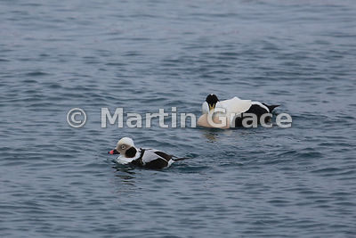 Male Long-Tailed Duck (Clangula hyemalis) in winter plumage with an adult male Common Eider (Somateria mollissima) behind