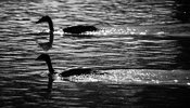 08243-Egyptian_geese_in_the_river_Tanzania_2018_Laurent_Baheux