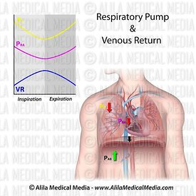 Respiratory pump and venous return