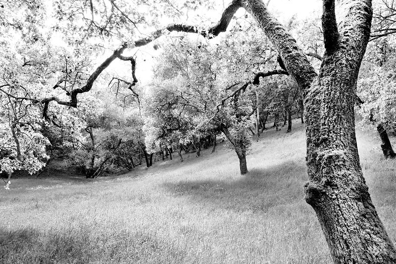 OAK TREES AND A MEADOW NAPA VALLEY BLACK AND WHITE