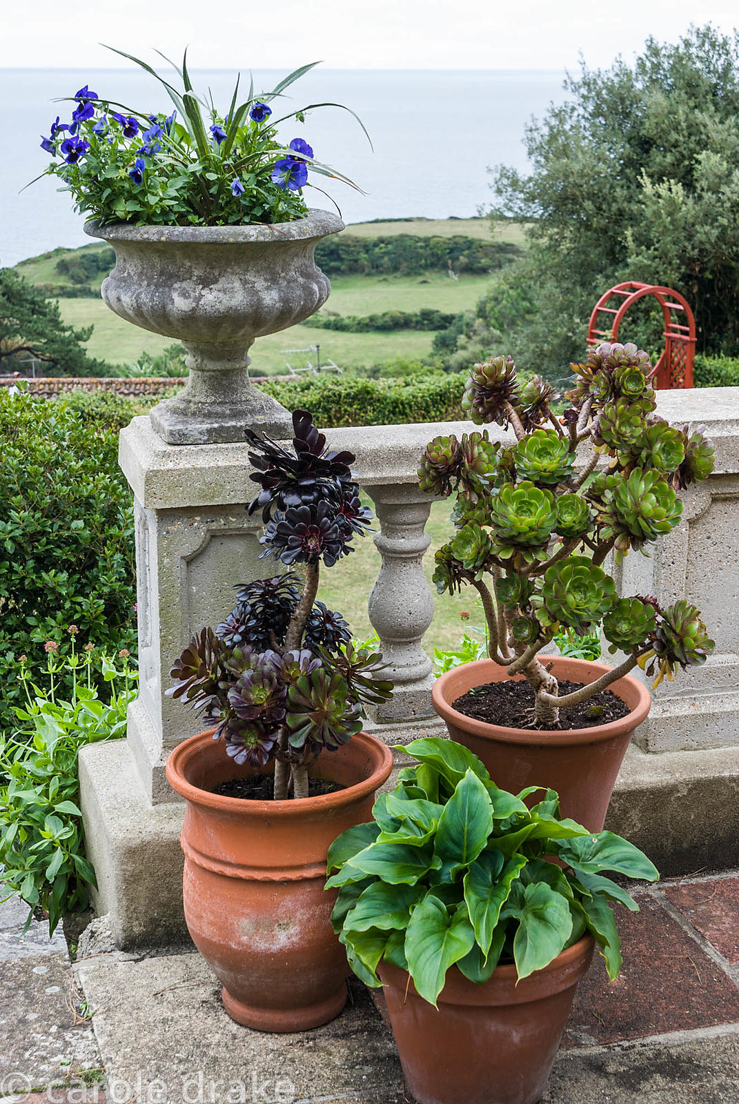 Pots at the top of the steps on the terrace contain succulents, Aeonium arboreum, and Zantedeschia aethiopica. The Shute, nr ...