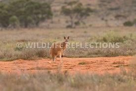 kangaroo_red_mud_spot-2