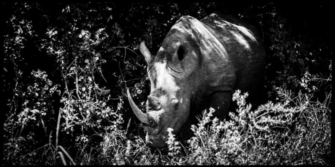 7150-Rhino_in_the_grass_Laurent_Baheux