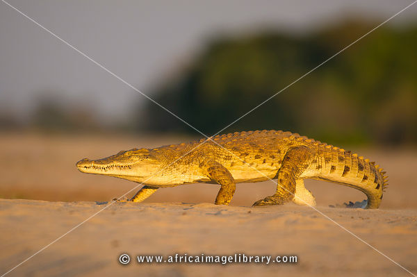 Nile Crocodile, Crocodylus niloticus, walking at the Rufiji River, Selous Game Reserve, Tanzania