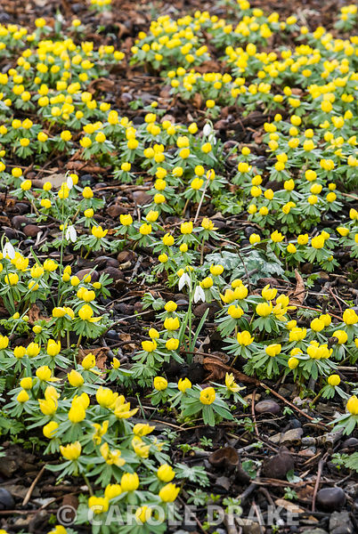 Naturalized aconites and snowdrops in the garden adjoining the nursery. Foxgrove Plants, Newbury, Berkshire, UK