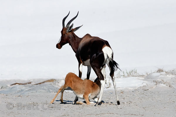 Bontebok (Damaliscus dorcas dorcas) nursing its young, Platboom Beach, Cape Peninsula, South Africa