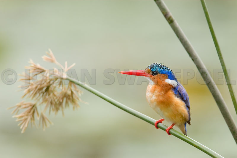 Malachite Kingfisher perched among reeds