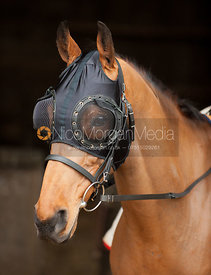 A racehorse wearing a bridle and fly mask - Royalty Free Image