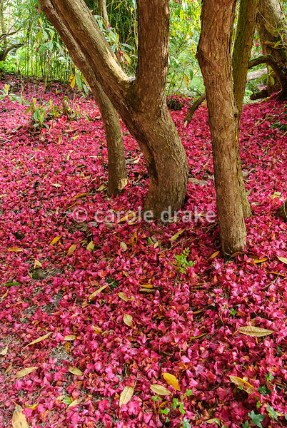 Carpet of fallen flowers from tall Rhododendron 'Cornish Red'. Lukesland, Harford, Ivybridge, Devon, UK