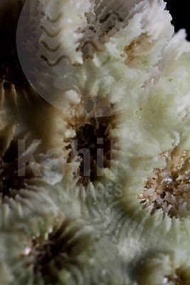 Gambier coral collection