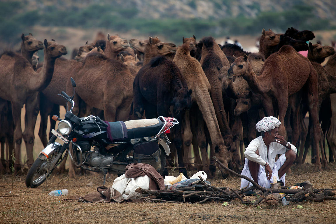 Farmer and his camels in Pushkar, Rajasthan, India