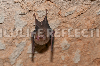 funnel_eared_bat_hanging_3
