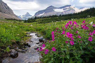 Preston Park Monkeyflowers - Glacier National Park