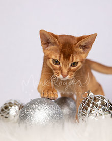 Abyssinian Kitten Playing with Silver Christmas Ornaments