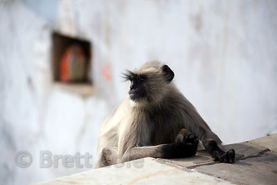 Fine portrait of a handsome langur monkey on the ghats of Pushkar lake, Pushkar, Rajasthan, India