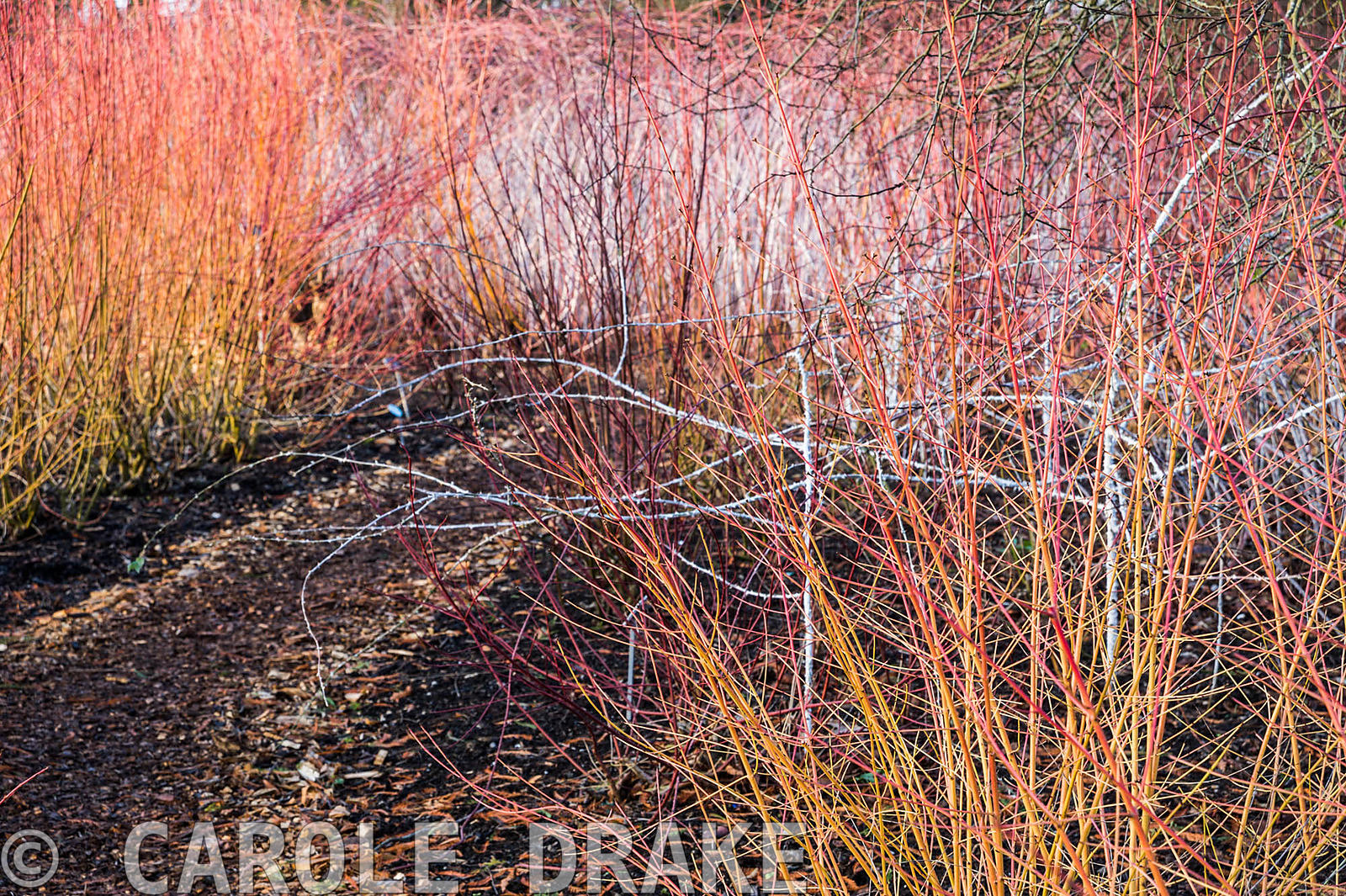 Red and yellow cornus with white stemmed Rubus biflorus beside the pond in Seven Acres at RHS Wisley.