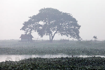 Ealry morning fog over a tree and fishing hut in the East Kolkata Wetlands, Kolkata, India.