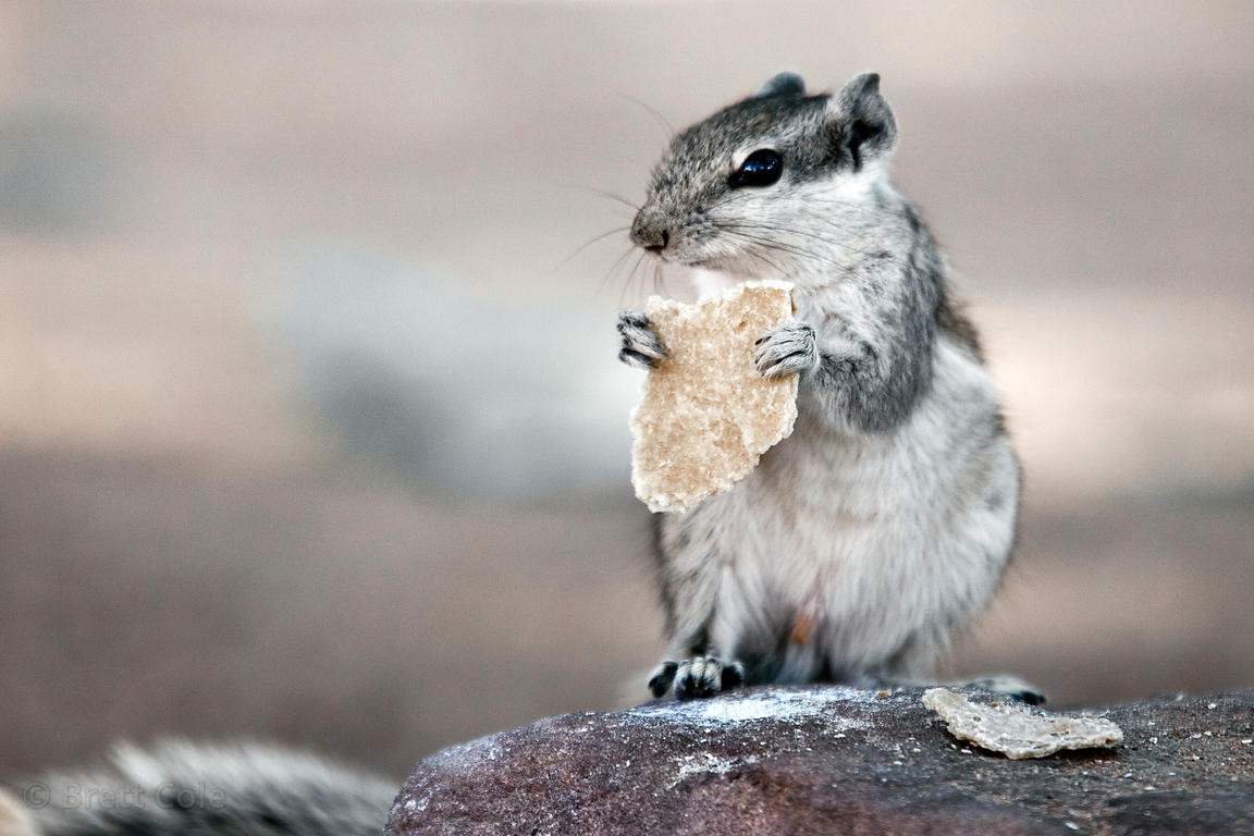 Chipmunk eating a piece of chapati bread in Jodhpur, Rajasthan, India