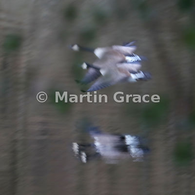 Two Canada Geese (Branta canadensis) in flight, impressionistically blurred by movement and slow shutter speed, reflected in ...