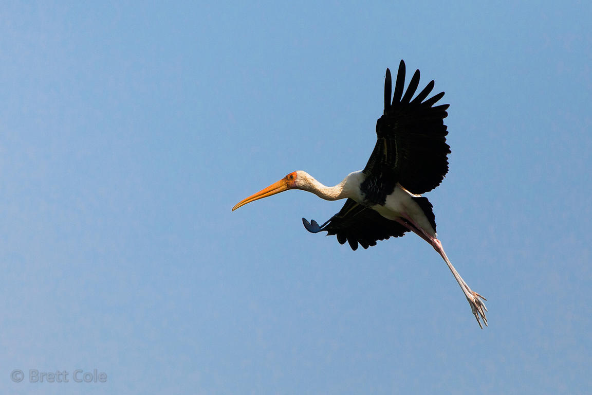 Flying painted storks (Mycteria leucocephala), Keoladeo National Park, Rajasthan, India