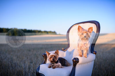 two cute small dogs perched on chair at sunset in wheatfield