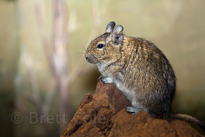 Degu (Octodon degus), National Zoo, Washington, D.C.