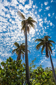 Palm Trees in Bahia Honda State Park