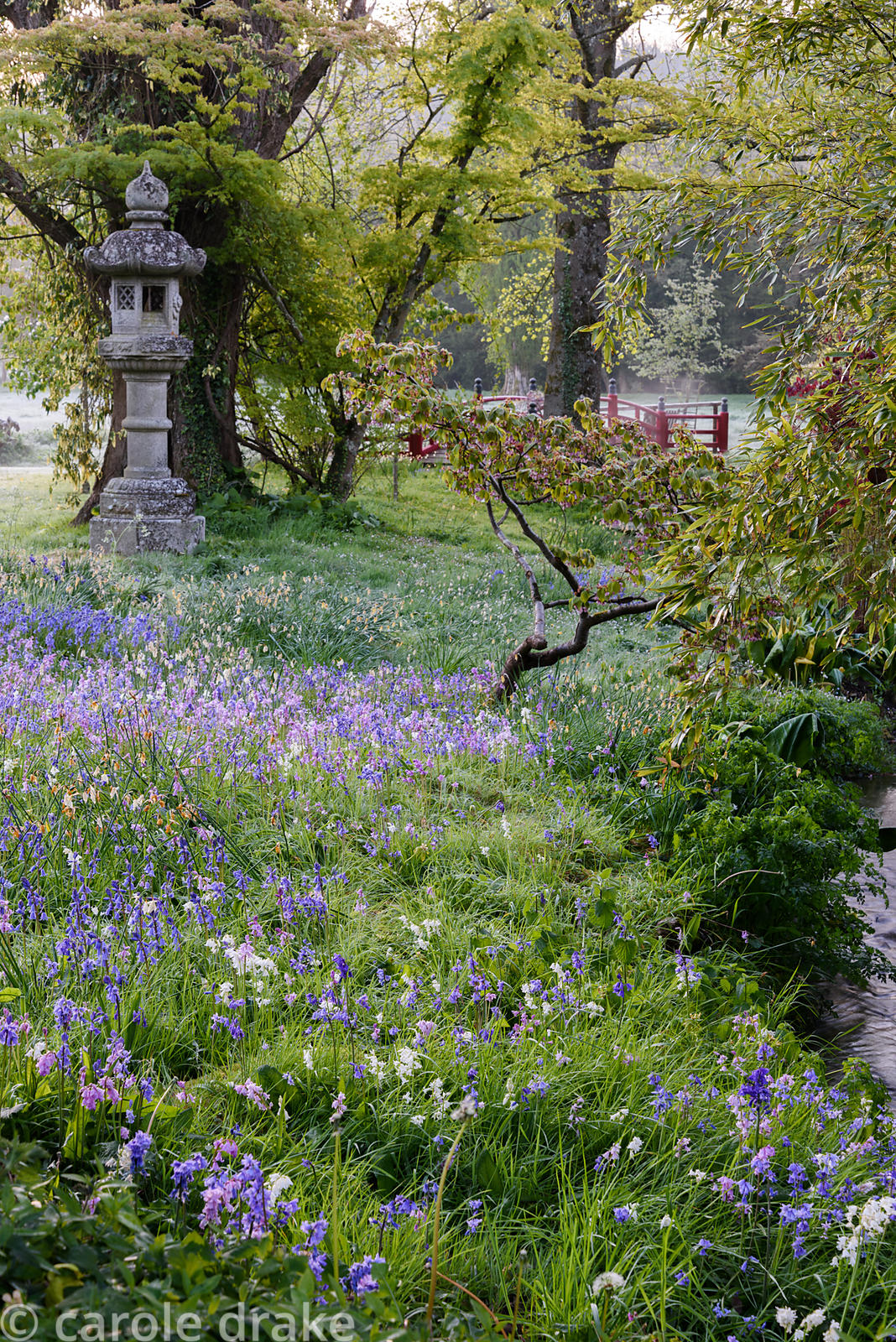 Bluebells including pink and white flowered forms around streams and a temple lantern in the Japanese garden at Heale House, ...