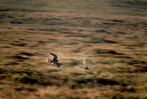 Falcon chasing grouse