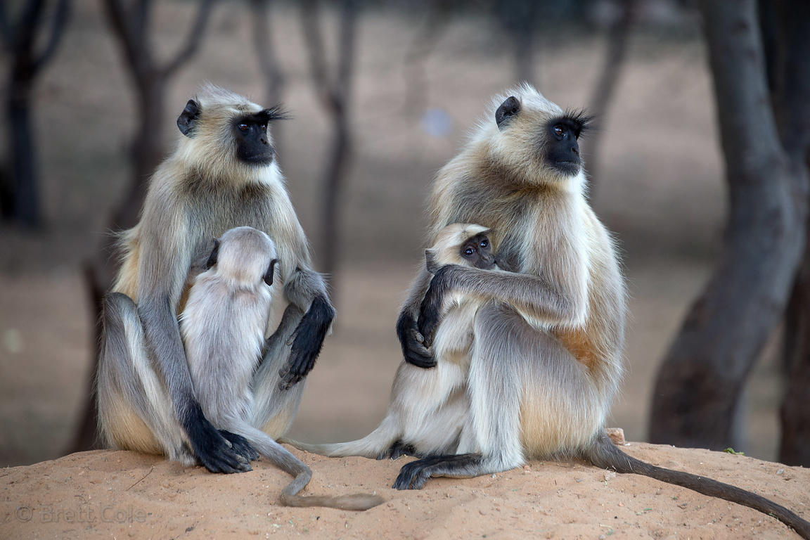 Wild langur monkey mothers and babies in desert woodlands, Pushkar, Rajasthan, India, Pushkar, Rajasthan, India
